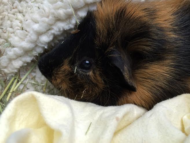 guinea pig info