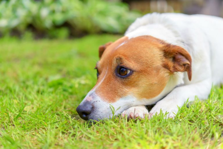 Canine Distemper and its symptons in Dogs