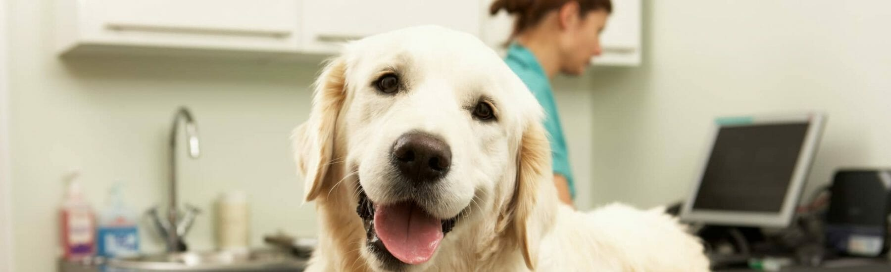 Golden Retriever in a Veterinary Office